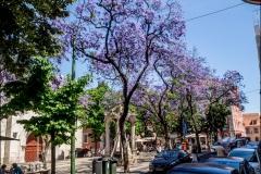 Lila fák
