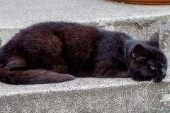 Gizi macska